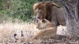 Ngưỡng mộ tình yêu đẹp như ngôn tình của vua sư tử