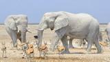 Đàn voi trắng bất thường gây kinh ngạc và sự thật bất ngờ