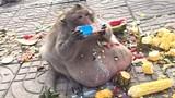 Chú khỉ phải kéo lê bụng dưới đất và nguyên nhân khó tin