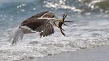 Quá đói, chim mòng biển bắt tạm cua nhện làm bữa trưa