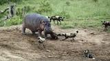 Chó hoang châu Phi cả gan chống lại hà mã gây sốc