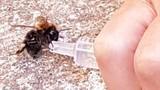 Ngoạn mục cảnh bác sĩ cứu sống ong sắp chết vì mất nước