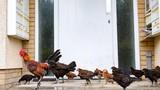 """Hàng trăm con gà hoang """"tấn công"""" nước Anh gây sững sờ"""