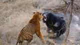 Gấu mẹ cuồng nộ, đánh đấm hổ vằn bảo vệ con