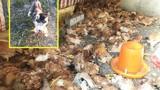 Chó Husky sát thủ, tàn sát hơn 600 con gà trong đêm