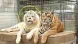 Sự thực đáng sợ sau hình ảnh con hổ xấu xí nhất