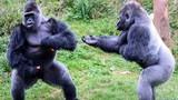 Khỉ đột mạnh nhất đàn hậm hực vì vòi ăn thứ này