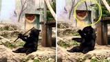 Gấu đen khổng lồ khổ luyện kungfu ai thấy cũng phải cười