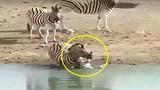Kinh dị cảnh ngựa vằn đực dìm chết con của tình địch