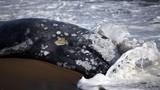Cá voi xám chết thảm dạt bờ hàng loạt, gây hoang mang