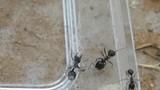Kịch tính kiến anh hùng cứu bạn thoát khỏi lưới nhện độc