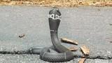 Đem rắn hổ mang quấn tay khoe khoang, thanh niên chết thảm khi...