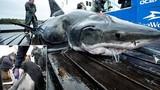 """""""Yêu"""" quá mãnh liệt, cá mập trắng lớn bị cắn rách đầu"""