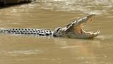 Cá sấu và chiếc vòng cổ lốp xe tử thần gây ám ảnh