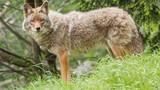 """Khám phá """"choáng váng"""" về sói đồng cỏ ít ai hay biết"""