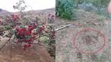 """Bức xúc trồng hoa hồng cổ đắt giá để bị """"đại gia"""" sành hoa đào trộm"""