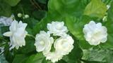 8 bài thuốc chữa nhiều bệnh từ hoa nhài