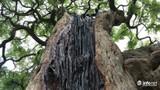 Diện kiến cây me độc nhất vô nhị giá 3,5 tỷ