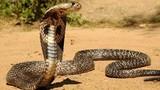 5 loài rắn hổ mang phun nọc độc, hung dữ kinh hoàng