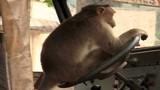 """Video: Tài xế Ấn Độ để khỉ lái xe bus khiến hành khách """"sốc"""""""