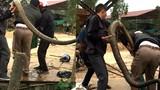 Video: Khiếp vía 5 thanh niên bắt sống hổ mang chúa 20 kg ở Vĩnh Phúc