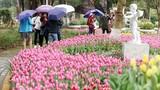 Video: Cánh đồng hoa tulip 180 ngàn bông khoe sắc giữa Thủ đô