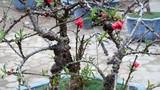 """Video: Chủ vườn Nhật Tân xây phòng """"giữ nhiệt"""" cho vườn đào Thất Thốn tiền tỉ"""