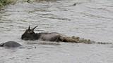 Hà mã khai chiến cá sấu cứu linh dương đầu bò