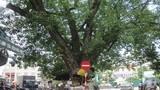 Ảnh những cây bồ đề đẹp, nổi tiếng nhất Hà Nội