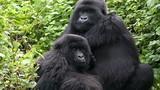 Khỉ đột châu Phi có thể diệt vong vì đại dịch Ebola