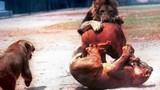 Những pha săn mồi đẫm máu nhất của sư tử