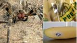 Loài nhện cắn làm đàn ông cương cứng suốt 4 giờ