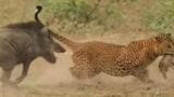 Kịch liệt cảnh lợn rừng mẹ cắn mông báo đốm cứu con