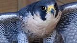 """Những loài chim xứng danh """"vua tốc độ"""" trong tự nhiên"""