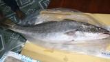 Liên tục bắt được cá lớn nghi là cá sủ vàng
