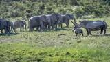 Tê giác giương sừng bảo vệ con, đàn voi vội tháo chạy
