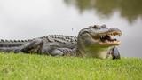 Mổ bụng cá sấu khổng lồ, thấy cảnh bi thảm