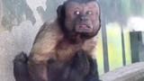 Chú khỉ có gương mặt người đàn ông khổ đau gây kinh ngạc