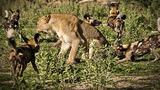 """Chó hoang dùng """"chiến thuật"""" độc tấn công sư tử"""