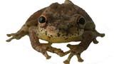 Loài ếch đặc biệt phát ra âm thanh giống tiếng... dê