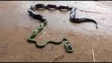Kinh dị cảnh rắn gồng mình nôn ra con rắn khác ngọ nguậy