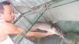 Cá chình khủng dính lưới ngư dân sông Lam