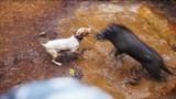Khiếp đảm đấu trường chó pitbull tử chiến lợn rừng
