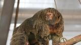 Sững sờ khỉ mẹ có cơ bắp vạm vỡ, lông lá rậm rạp