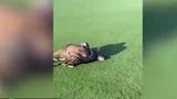 Hãi hùng trăn đá châu Phi siết chết linh dương giữa sân golf