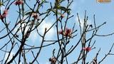 Ảnh: Hoa đào nở sớm trong nắng đông tuyệt đẹp ở HN