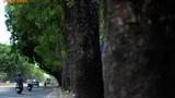 Ngày mai, chặt hạ hơn 1.000 cây xanh trên đường Phạm Văn Đồng