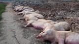 """Hà Nội: Người dân """"dài cổ"""" chờ tiền hỗ trợ 200 con lợn dịch tả châu Phi"""