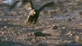Video: Diều hâu ra đòn thần sầu, đoạt mạng thằn lằn khổng lồ
