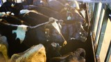"""Hình ảnh 400 """"nàng"""" bò sữa xịn mới nhập của Vinamilk"""